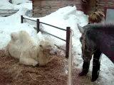 общение с животными) верблюд облизовал снег  с моей обуви)